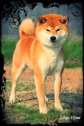 Ichigo Hime From Hillock Snowy, chien Shiba Inu