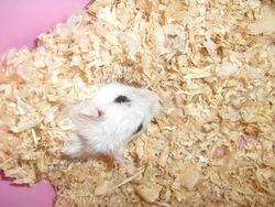 Ichigo, rongeur Hamster