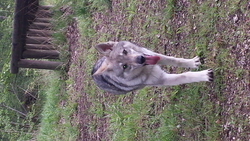 Ichka, chien Chien-loup tchèque