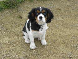 Ichka, chien Cavalier King Charles Spaniel