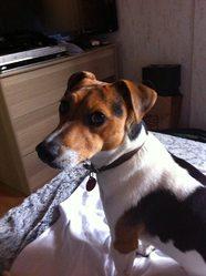 Ichou, chien Jack Russell Terrier