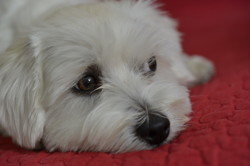 Icko, chien Bichon maltais