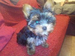 Ida, chien Yorkshire Terrier