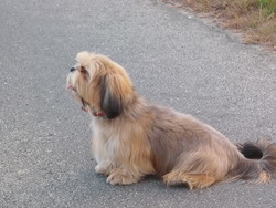 Ida, chien Lhassa Apso