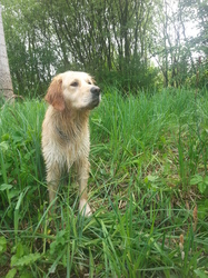 Idaho, chien Golden Retriever