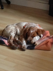 Idaho Du Grand Manot, chien Épagneul breton