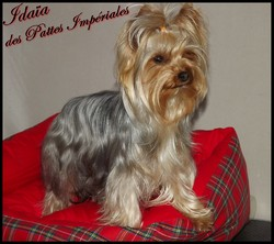 Idaia Precious Girl, chien Yorkshire Terrier