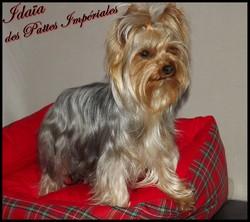 Idaia Precious Girl, chien Yorkshire Terrier