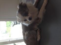 Idalgo, chien Chihuahua