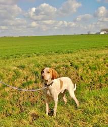 Idann, chien Braque de l'Ariège