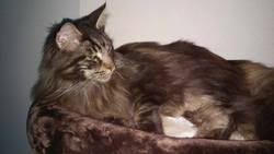 Idao, chat Maine Coon