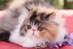 Idéale De L'Amour De Chat, chat Persan
