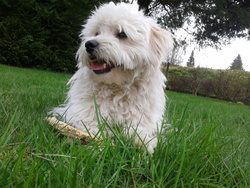 Idéfix, chien Coton de Tuléar