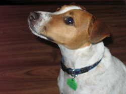 Idéfix, chien Jack Russell Terrier