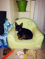Idéfix, chien Chihuahua