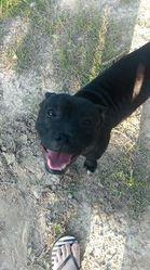 Idefix, chien Staffordshire Bull Terrier