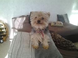 Idefix, chien Yorkshire Terrier