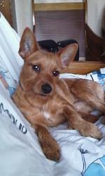 Idéfix, chien Pinscher