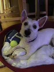 Idéfix, chien West Highland White Terrier