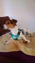 Idefix, chien Jack Russell Terrier