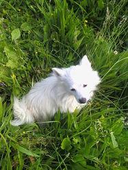Idéfix, chien Spitz japonais