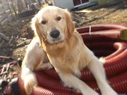 Idéfixe, chien Golden Retriever