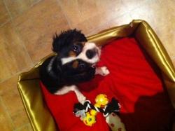 Idélya, chien Cavalier King Charles Spaniel