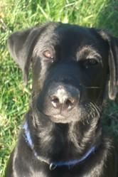 Idem, chien Labrador Retriever