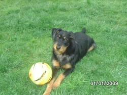 Idesia, chien Beauceron