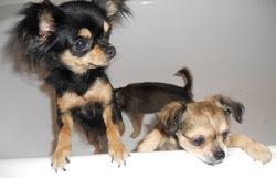 Idile De L'Oasis Des Cotonniers, chien Chihuahua