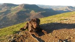 Idji, chien Labrador Retriever