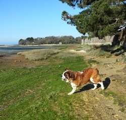 Ido, chien Saint-Bernard