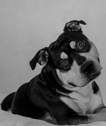 Idol, chien American Staffordshire Terrier
