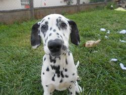 Idole, chien Dalmatien