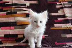 Idole De La Forêt Verte, chat Angora turc