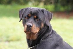 Idole De La Rêverie, chien Rottweiler
