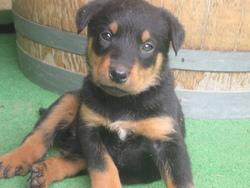 Idole Des Gardes Noirs De Rapiamus, chien Beauceron