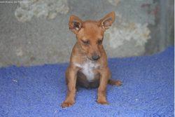 Idolo Le Rigolo, chien Podenco portugais