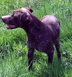 Idor, chien Braque italien