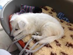 Idya, chien Berger blanc suisse