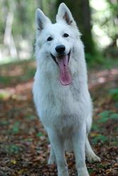 Idylle, chien Berger blanc suisse