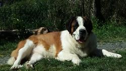 Idylle, chien Saint-Bernard