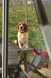 Idylle, chien Beagle