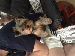 Idylle, chien Yorkshire Terrier