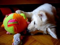 Idylle De L'Esprit Du Sud, chien Berger blanc suisse