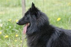 Iego, chien Berger belge