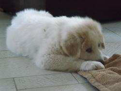 Iégo, chien Chien de montagne des Pyrénées