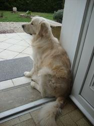 Iello Sun, chien Golden Retriever