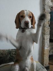 Iellow, chien Beagle