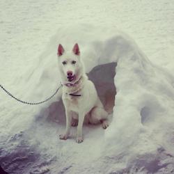 Iéna, chien Husky sibérien